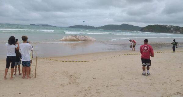 Carcaça de baleia de 20 toneladas aparece na Praia de Geribá, em Búzios