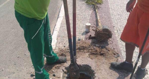 Plantio de mudas de palmeiras começa a ser feito em Cabo Frio