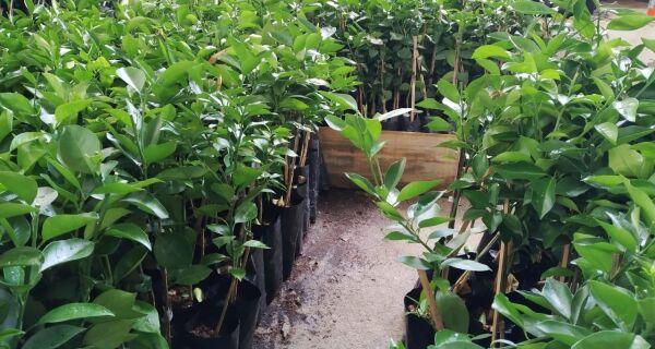 Prefeitura entrega mais 7 mil mudas de citros a agricultores de Araruama