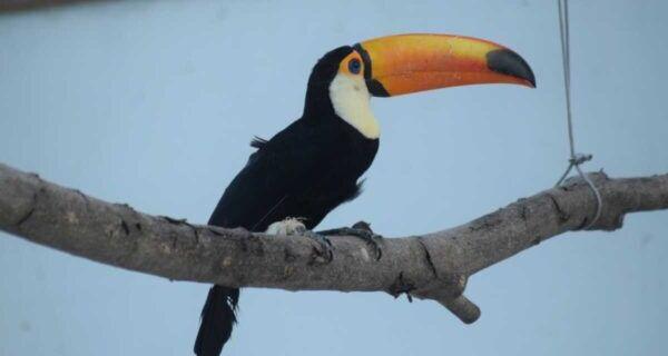Após reabilitação, tucano resgatado em São Pedro da Aldeia é devolvido à natureza