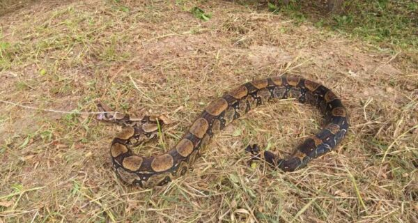 Jiboia com 2,5 metros de comprimento é resgatada em sítio de devolvida à natureza em São Pedro