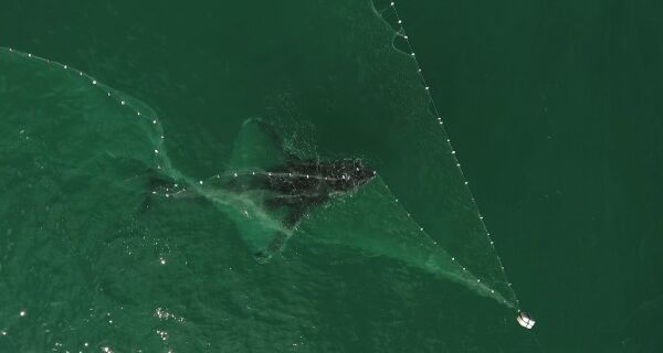 Baleia fica presa em rede de pesca em Arraial do Cabo