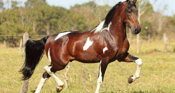 Araruama promove a 36ª Exposição do Cavalo Mangalarga Marchador