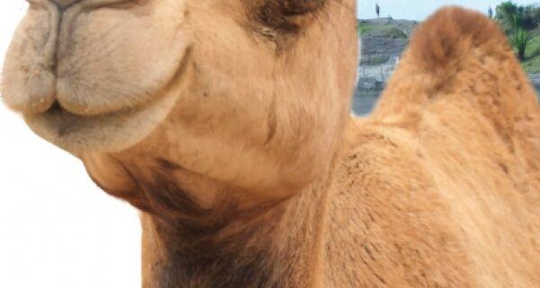 Camelos podem virar atração turística nas dunas do Forte
