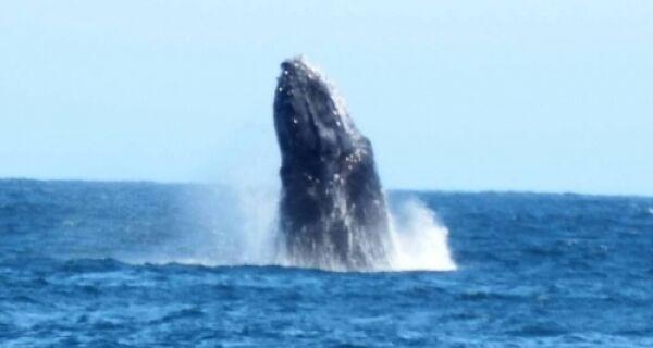 Cerca de 15 baleias Jubarte aparecem no mar de Arraial