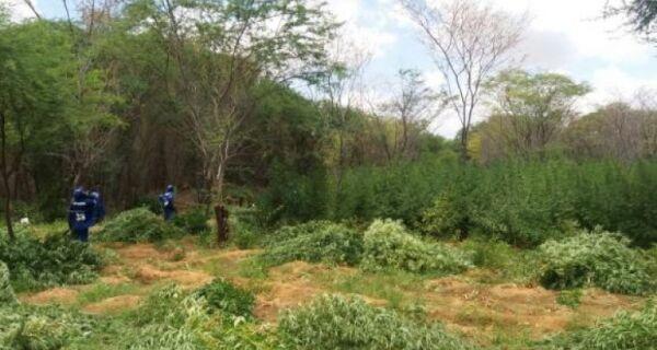 Polícia Federal destrói 48 mil pés de maconha no Sertão Pernambucano