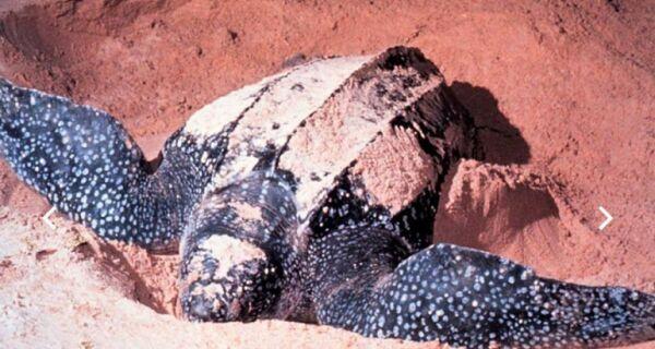 Filhotes de Tartarura de Couro aparecem na Praia do Peró