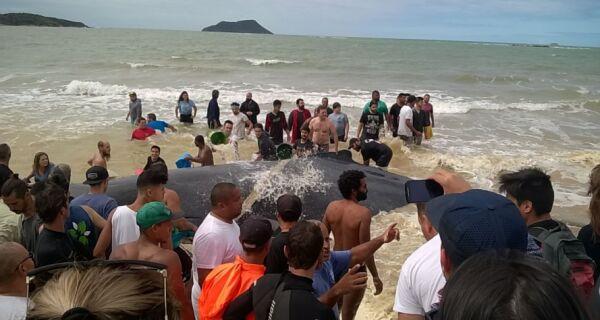 Dezenas de voluntários tentam salvar baleia encalhada na Rasa, em Búzios