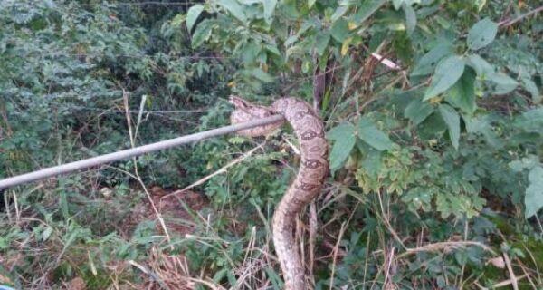 Jiboia de quase 2 metros é capturada em Iguaba Grande