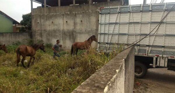 Agricultura recolhe cavalos soltos em Tamoios nesta terça (20)