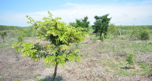 Projeto de reflorestamento promove plantio de 3 mil árvores nativas em São Pedro