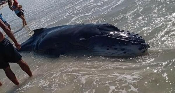 Filhote de baleia jubarte é resgatado das areias de praia em Arraial do Cabo