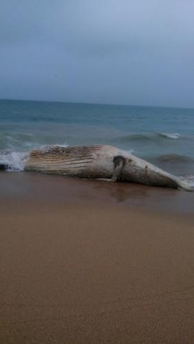 Moradores encontram baleia morta em Búzios