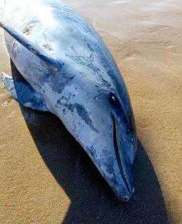 Golfinho é encontrado morto em praia de Búzios